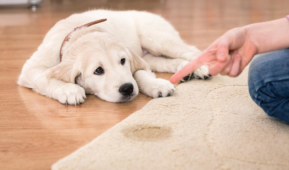 get pet stains out of rug