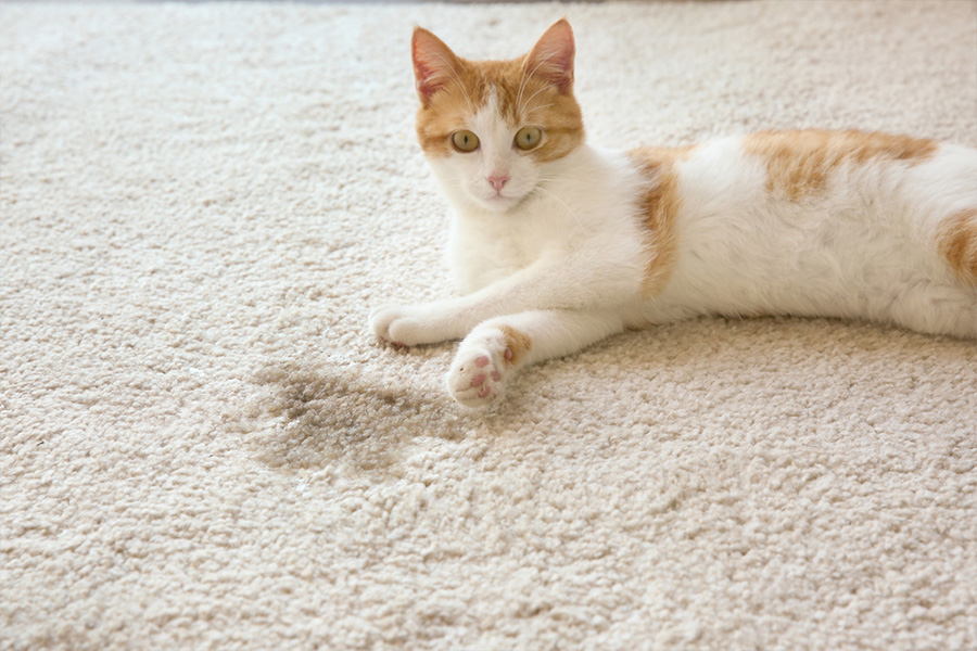 How To Get Cat Pee Out of a Rug Quickly and Perfectly